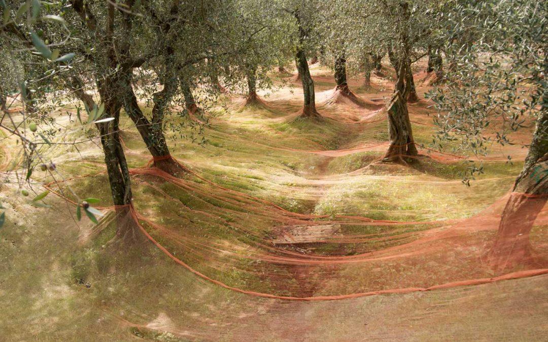 Le reti per la raccolta delle olive