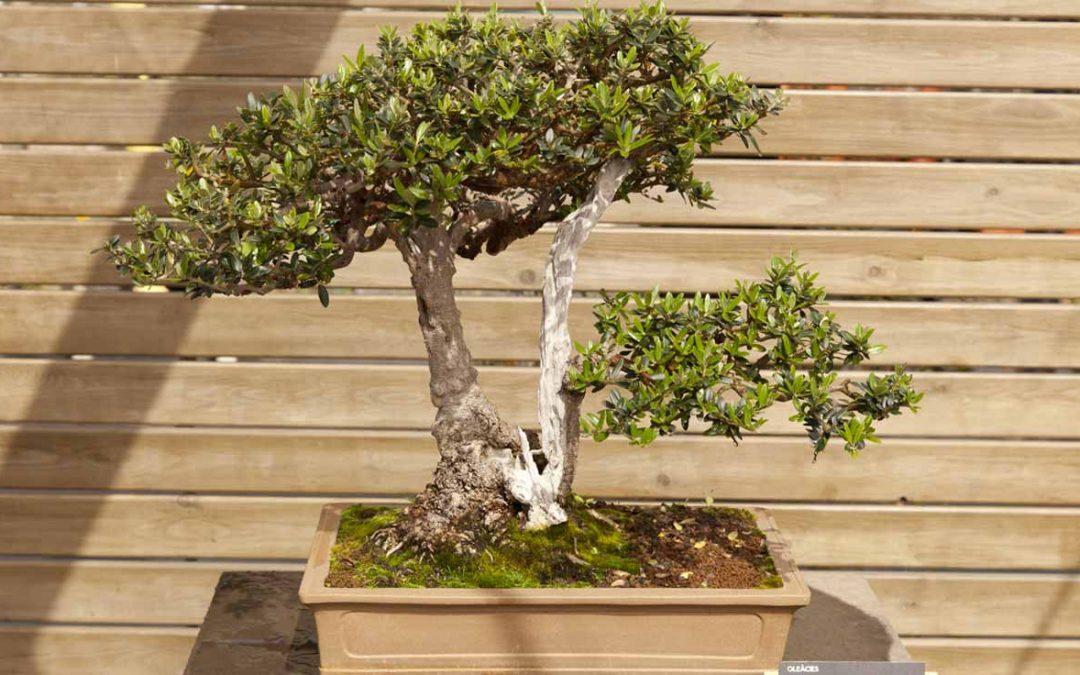 Cura e manutenzione dei bonsai di ulivo