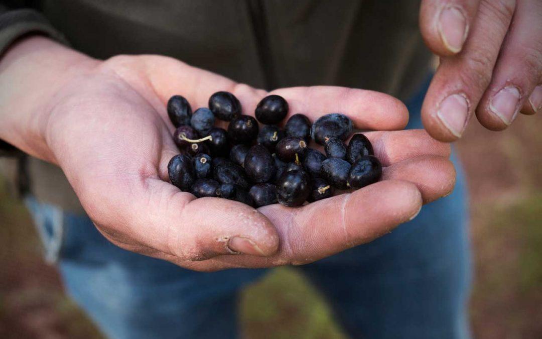 Qualità di olive e olio extravergine