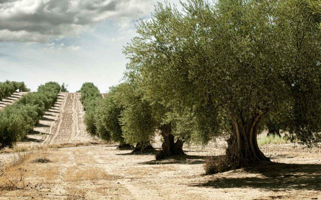 Calendario Trattamenti Olivo Biologico.La Coltivazione Dell Olivo Biologico Frantoio San Martino