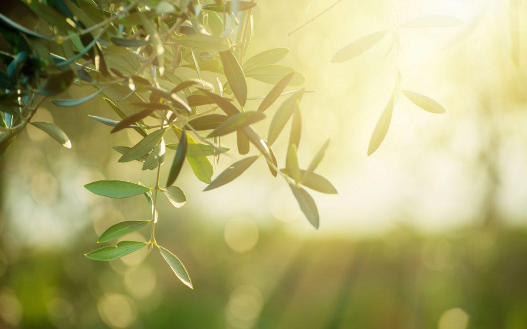 Le foglie dell'ulivo: i tanti benefici