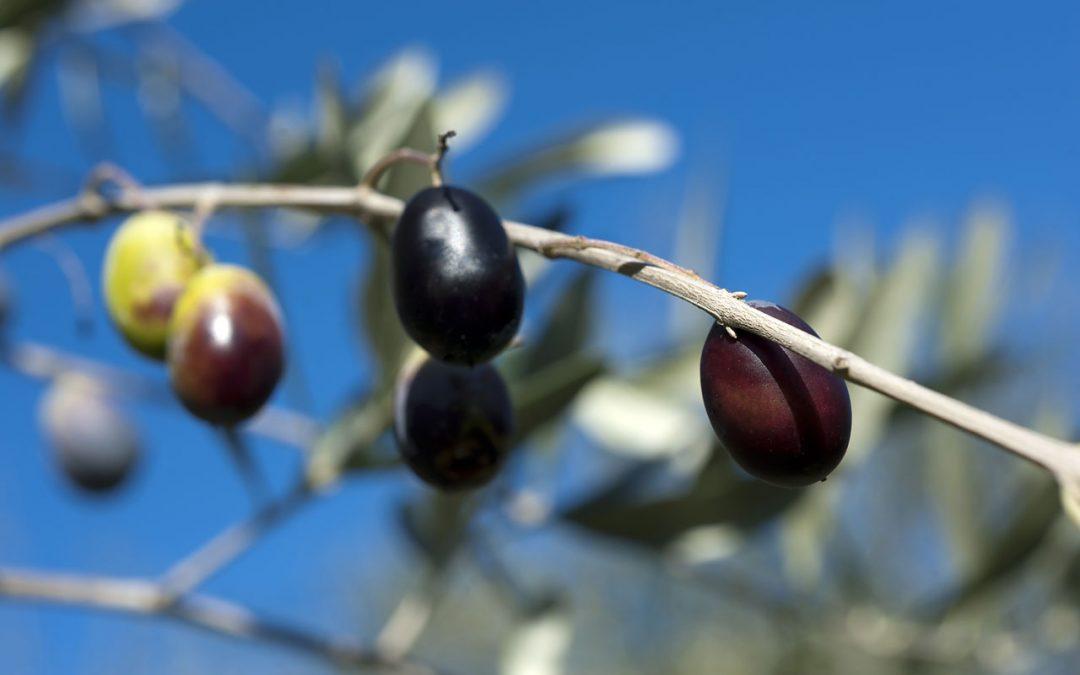 L'oliva taggiasca DOP
