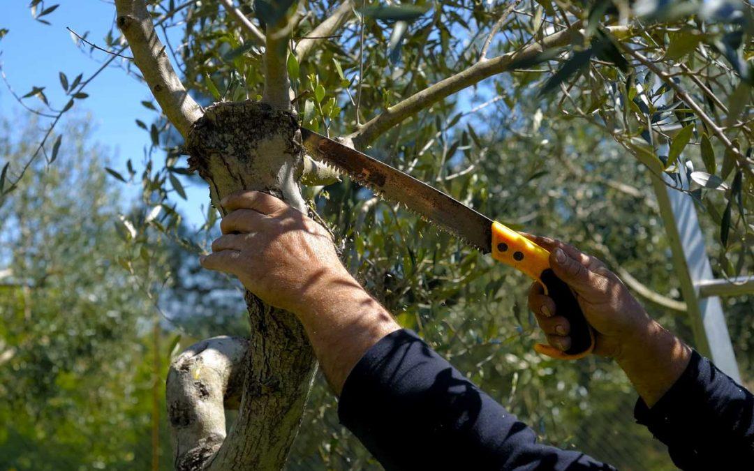 La potatura dell'albero di ulivo