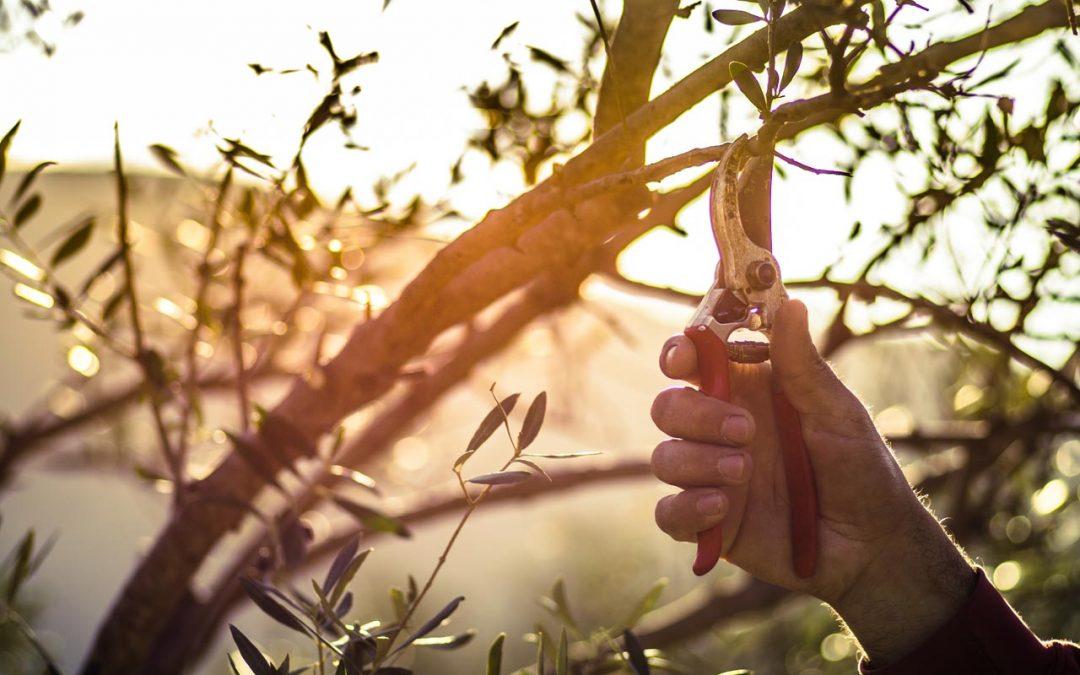Le forbici per la potatura degli ulivi