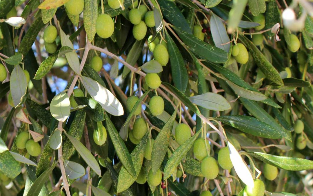 Le malattie dell'ulivo
