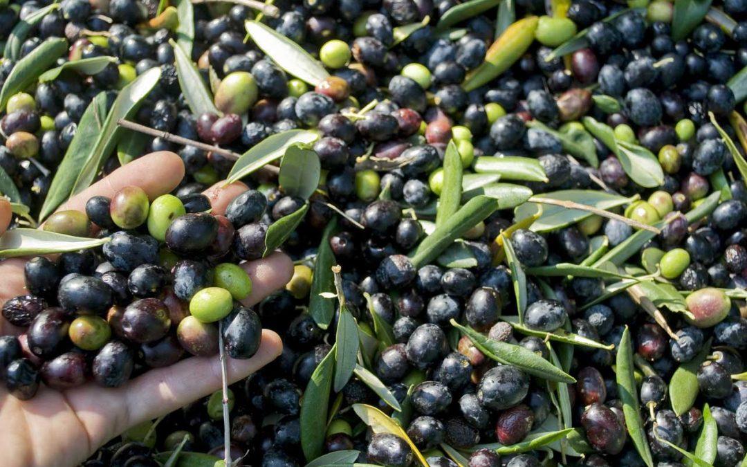 L'olio extravergine di oliva ligure