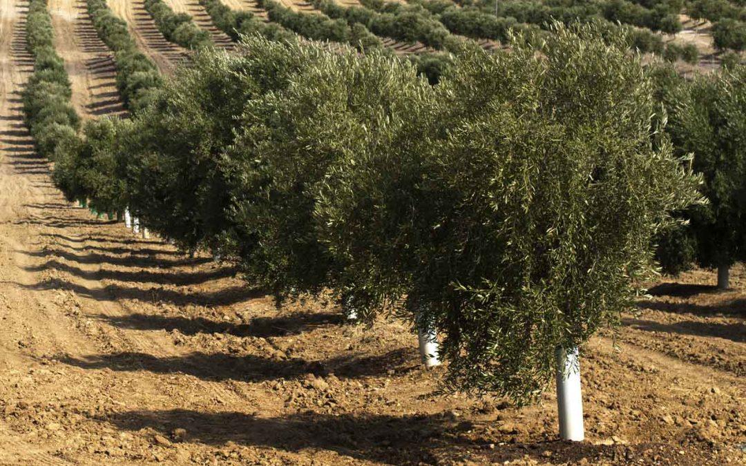 Le piante di ulivo e i prezzi