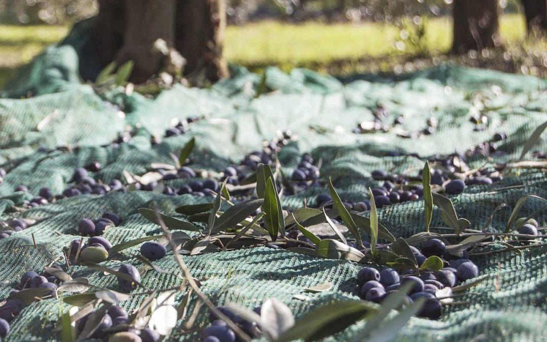 Il periodo di raccolta delle olive