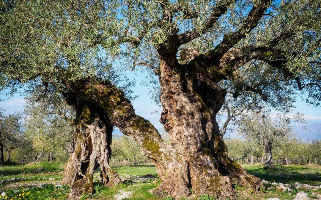 Gli alberi di ulivo secolari