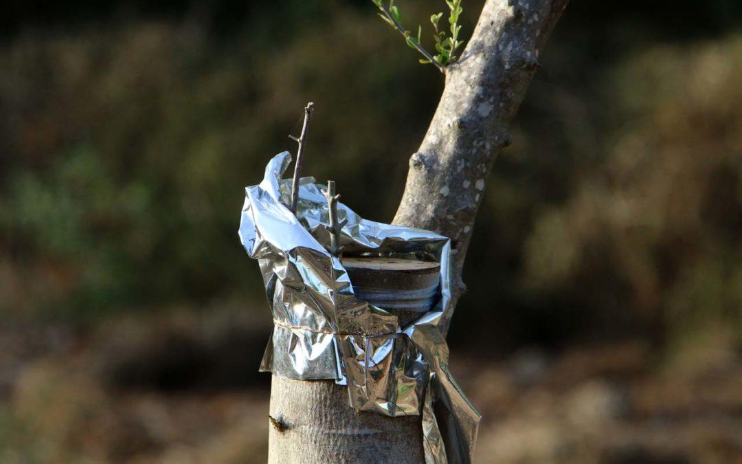 Come innestare un ulivo