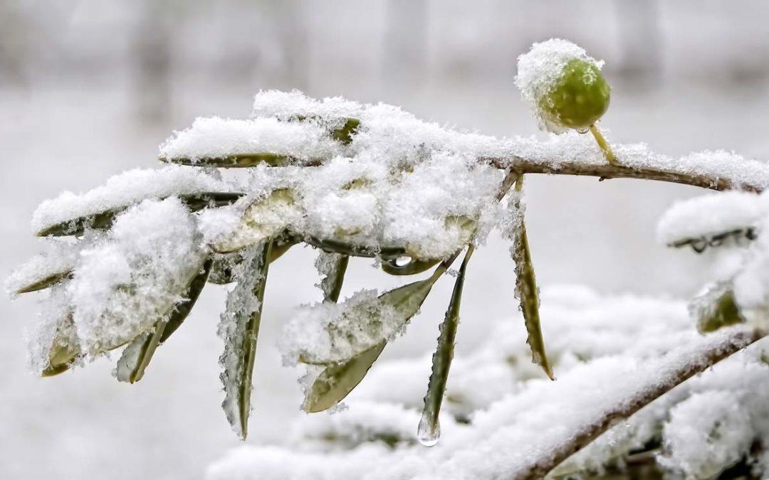 Come proteggere gli ulivi in inverno