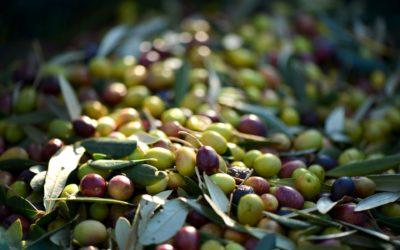 Varietà di olive da olio: le cultivar della Liguria
