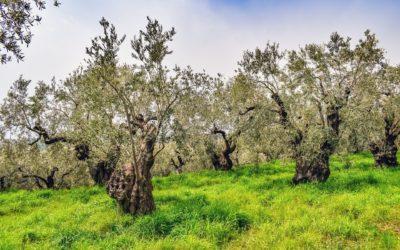 La tradizione dell'olivicoltura in Liguria